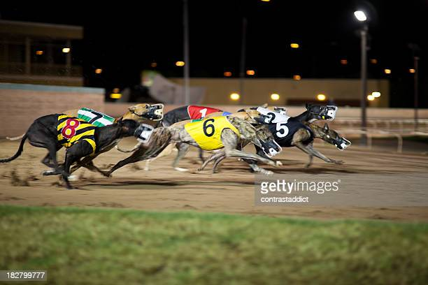 greyhounds in motion. - greyhound stock photos and pictures