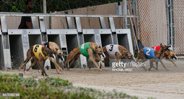 Greyhounds leave the start gate at Club/52 Melbourne Greyhound Park in Melbourne Florida February 14 as live racing is run six days a week from...