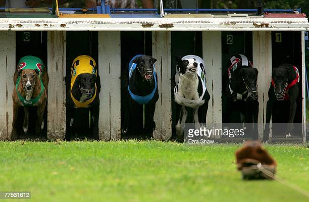 Greyhounds leaves the starting gate in the Appin 31st Anniversay Cup at the Appin Way race meeting on October 27 2007 in Sydney Australia