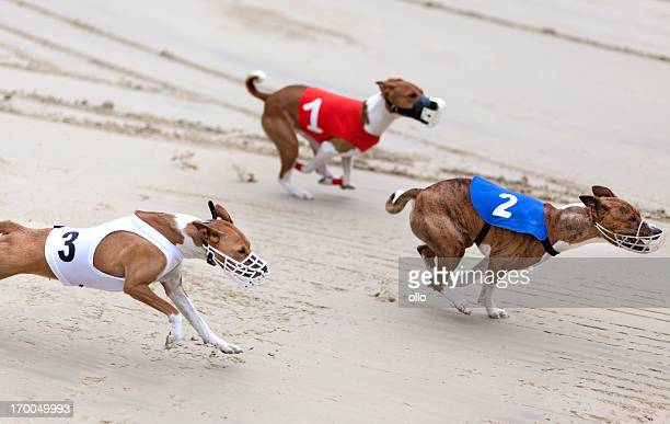 greyhounds on racetrack - restraint muzzle stock photos and pictures