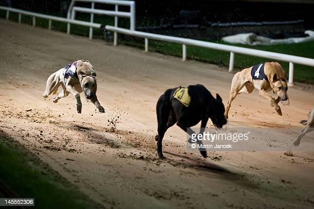 greyhounds - greyhound stock photos and pictures