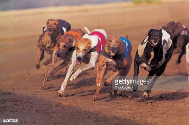 greyhounds racing on track - ドッグレース ストックフォトと画像