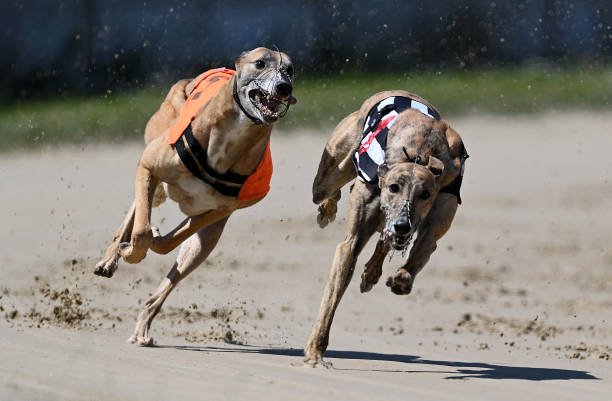 GBR: Perry Barr Greyhound Racing