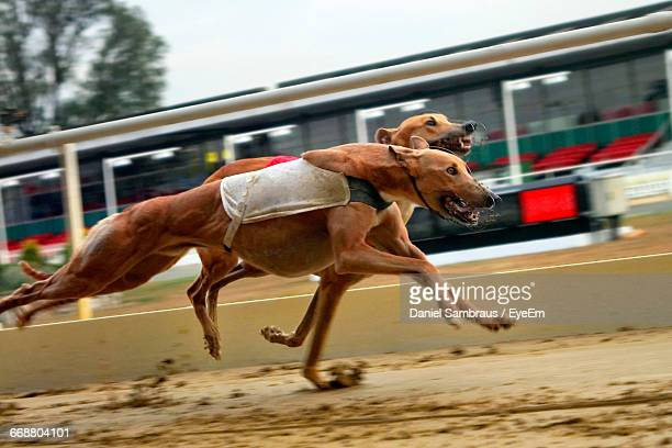 Greyhounds Running During Sports Race
