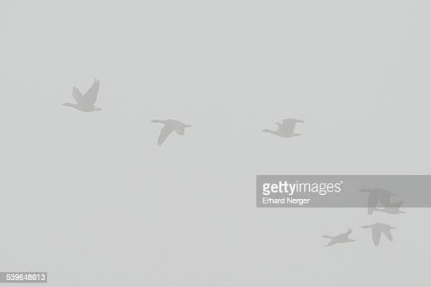 Greylag Geese -Anser anser- in the fog, Brandenburg, Germany