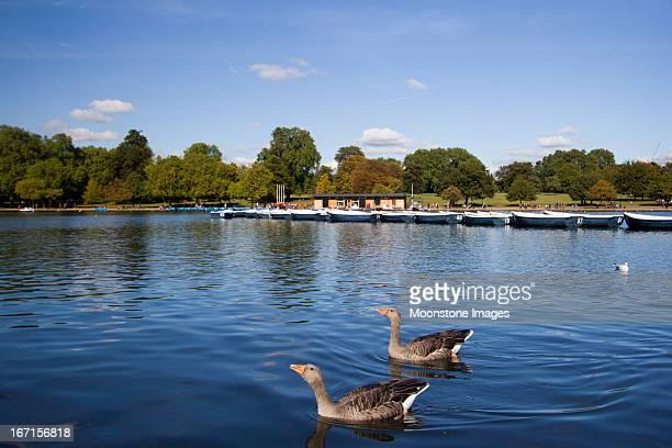 ハイイロガンのガチョウ、ロンドンのハイドパーク - ロンドン ハイドパーク ストックフォトと画像