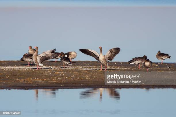 greylag geese in neusiedler see national park - marek stefunko stock pictures, royalty-free photos & images