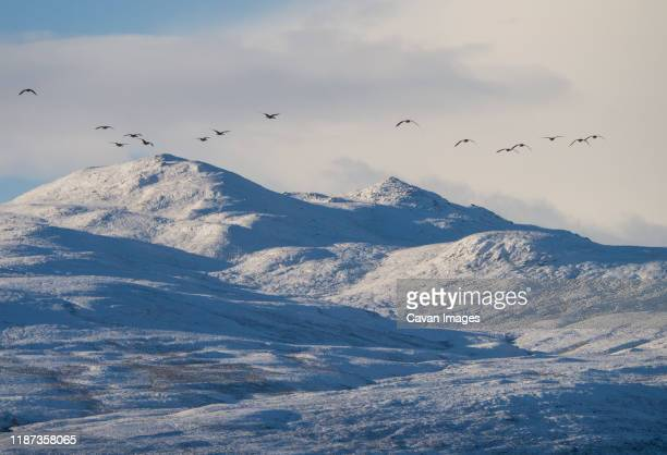 greylag geese over winter mountain landscape in the scottish highlands - 2017 stock pictures, royalty-free photos & images