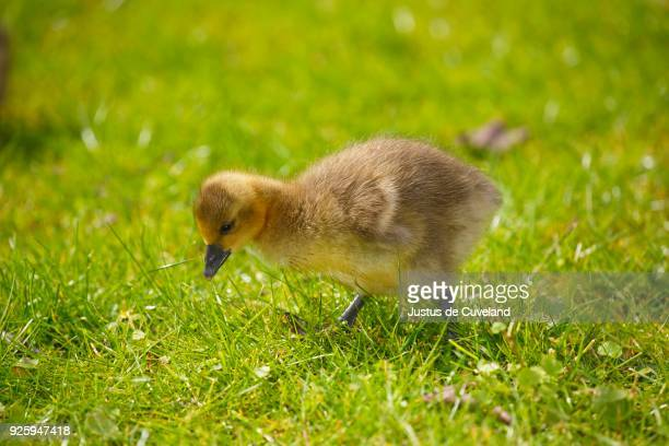 greylag goose (anser anser), chick in a meadow, schleswig-holstein, germany - schleswig holstein stock pictures, royalty-free photos & images