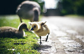Greylag Goose chick  in York, North Yorkshire