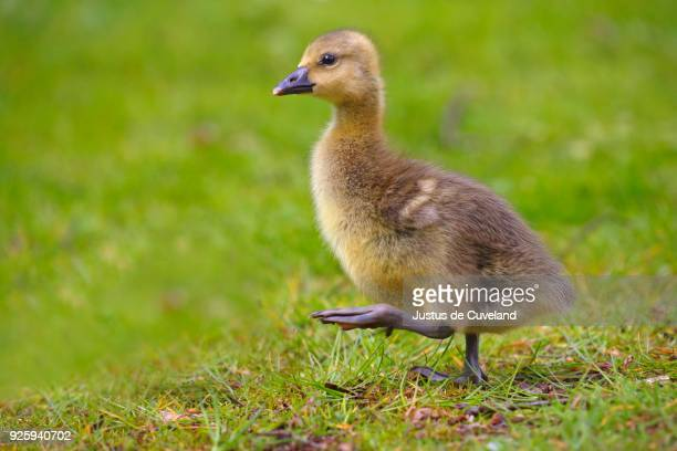 greylag goose (anser anser), chick running in meadow, schleswig-holstein, germany - schleswig holstein stock pictures, royalty-free photos & images