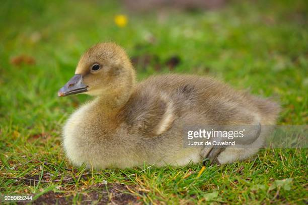 greylag goose (anser anser), chick sitting in meadow, schleswig-holstein, germany - schleswig holstein stock pictures, royalty-free photos & images