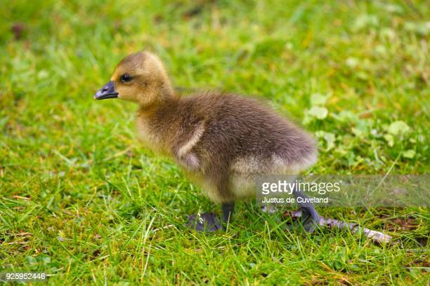 greylag goose (anser anser), chick walking in meadow, schleswig-holstein, germany - schleswig holstein stock pictures, royalty-free photos & images