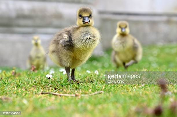 Greylag goose gosling is pictured in St James's Park in central London on May 14, 2021.