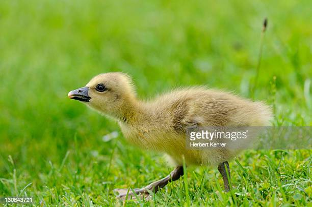 greylag goose (anser anser) gosling - vista lateral stock pictures, royalty-free photos & images