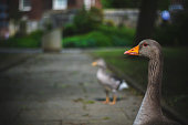 Greylag Goose in York, North Yorkshire