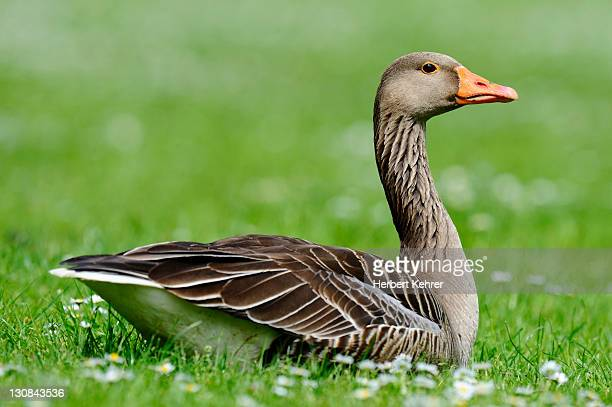 greylag goose (anser anser) - vista lateral stock pictures, royalty-free photos & images