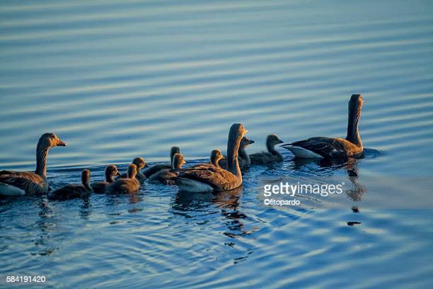 greylag goose - 水鳥 ストックフォトと画像
