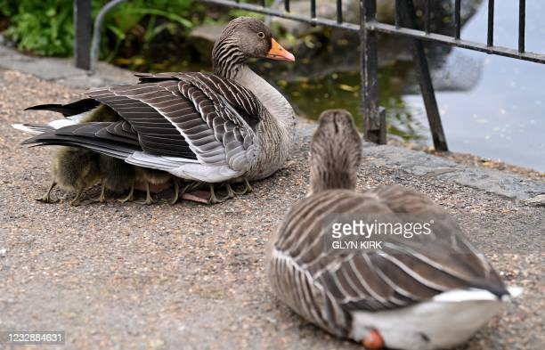 Greylag goose shelters its goslings in St James's Park in central London on May 14, 2021.