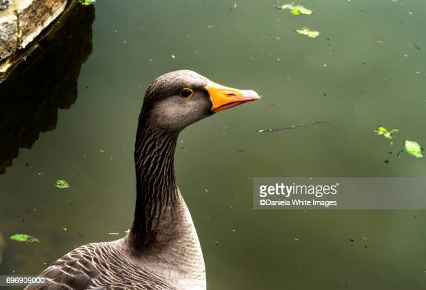 Greylag goose side view