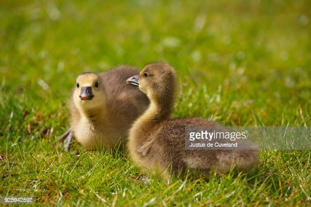 greylag goose (anser anser), two chicks sitting in meadow, schleswig-holstein, germany - schleswig holstein stock pictures, royalty-free photos & images