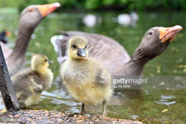 Greylag goose walks with its goslings in St James's Park in central London on May 14, 2021.