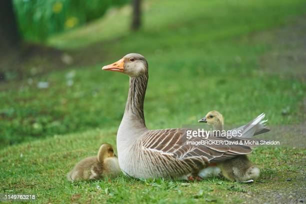 greylag goose (anser anser) with her chicks on a meadow, germany - グレイグース ストックフォトと画像