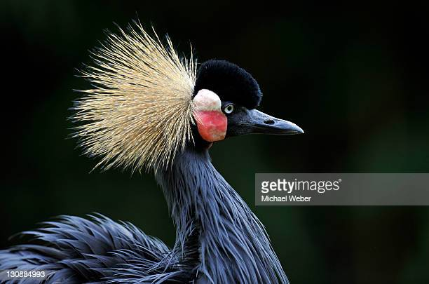 grey-necked crowned crane (balearica regulorum) - vista lateral stock pictures, royalty-free photos & images