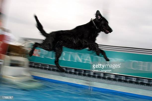 Griffin a 18monthold flat coated retriever jumps into the pool during the Diving Dog portion of the Purina Incredible Dog Challenge February 7 2003...