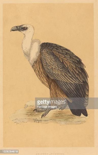 Griffon Vulture. Artist Unknown.