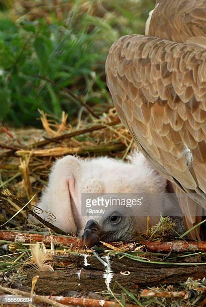Buitre Chick sentar en el nido.