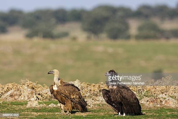 Griffon vulture. Cinereus vulture.