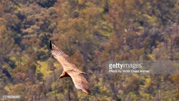 griffon vulture flying over monfragüe national park - victor ovies fotografías e imágenes de stock