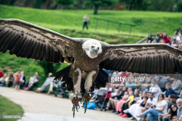 griffon vulture flying - animals attacking stock pictures, royalty-free photos & images