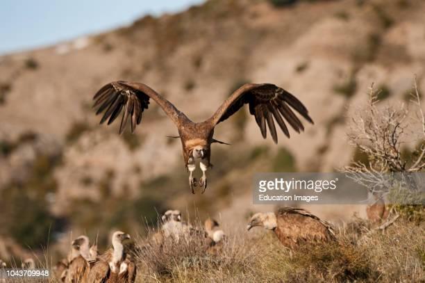 Griffon Vulture Gyps fulvus Pyrenees Spain