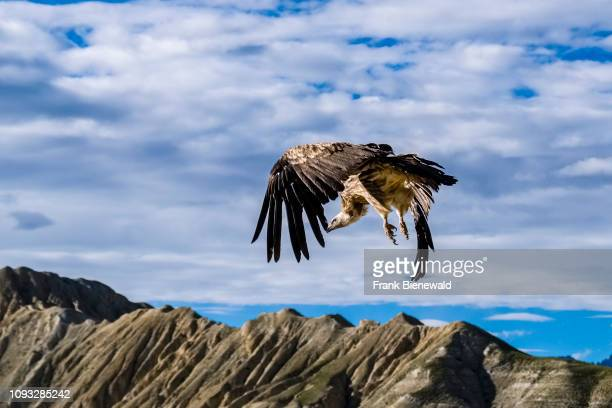 Griffon vulture is flying off a rock cliff.
