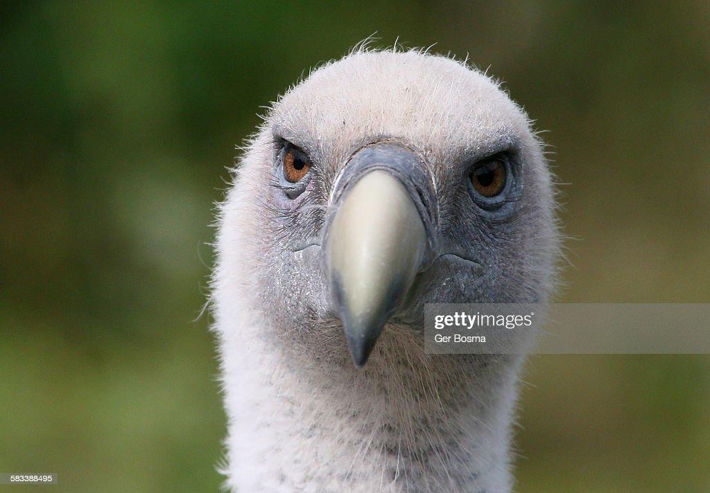 Griffon vulture mug shot : Stock Photo