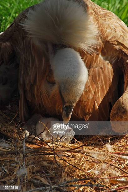 Buitre en bird's nest