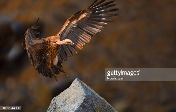 griffon vulture - yellow perch stock photos and pictures