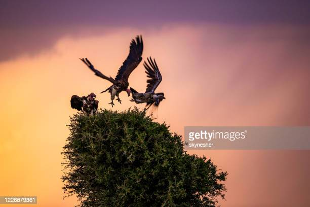 griffon vultures at sunset. - threatened species stock pictures, royalty-free photos & images