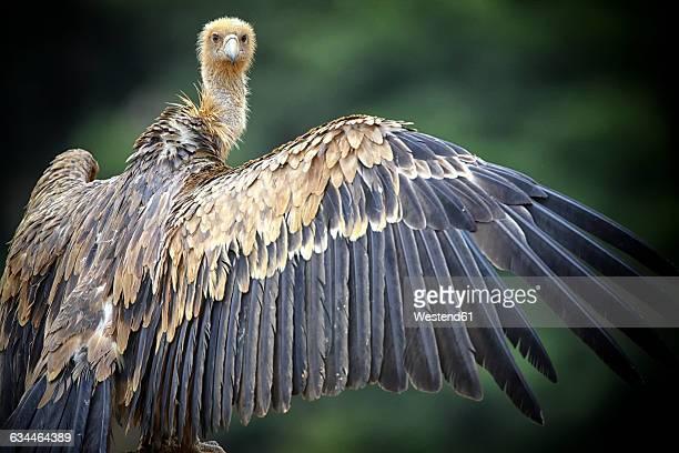 Griffon vultures, gyps fulvus, spread wings, looking