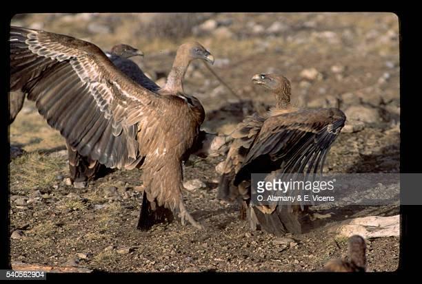 griffon vultures - alamany fotografías e imágenes de stock