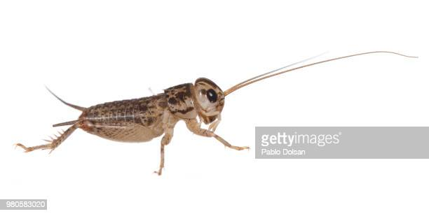 grillo - cricket insect stock pictures, royalty-free photos & images