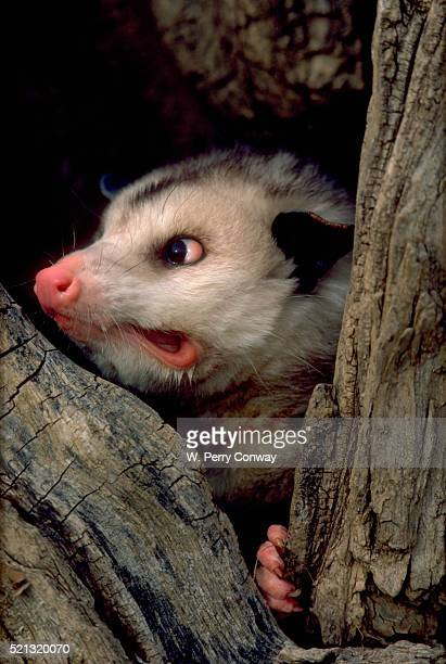 grimacing opossum in tree - opossum stock pictures, royalty-free photos & images