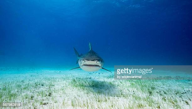 grin - tiger shark stock pictures, royalty-free photos & images