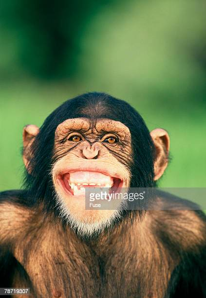 laughing monkey stock photos and pictures