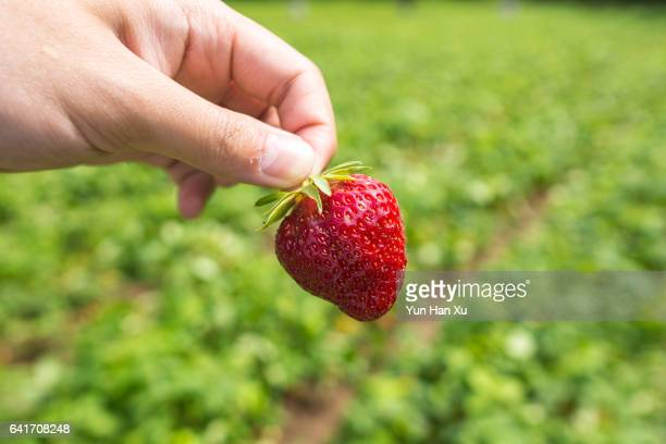 Gripping a Strawberry in Field