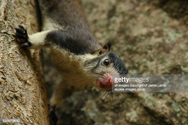 Grizzled Giant Squirrel close up