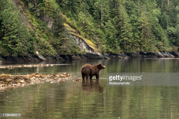 grizzley bear in the rainforest - canada stock pictures, royalty-free photos & images