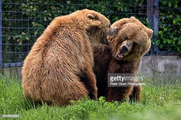 grizzlies 1 - kamloops stock pictures, royalty-free photos & images
